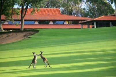 A club rule is that Kangaroos are allowed to roam the course as they please