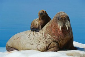 The Walrus and The Smallrus.  Yes.